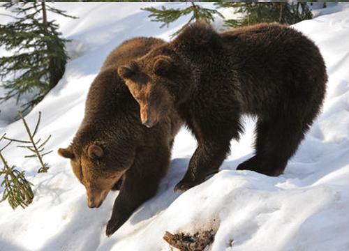 Bear watching
